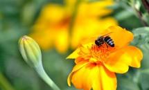 Înțepături de albină, de viespe și de furnică