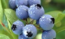 Afinele - fructele diabeticilor