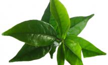 Beneficiile samponului cu ulei din arbore de ceai