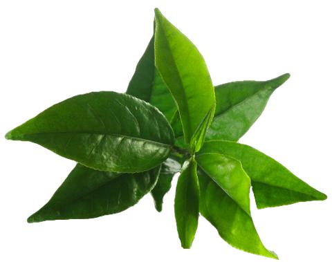 Beneficiile şamponului cu ulei din arborele de ceai