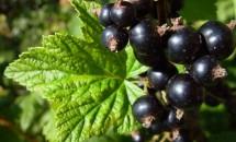 Coacăzul negru ajută la tratarea rinitelor