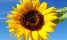Zodiac floral Floarea-Soarelui