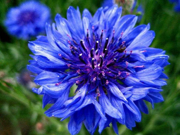 Zodiac floral Albastrea
