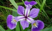Zodiac floral Iris