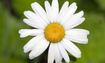 Zodiac floral Margareta
