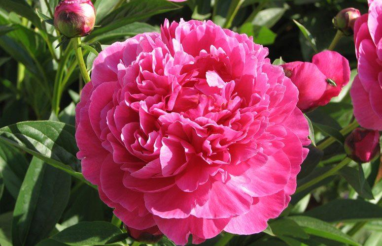Zodiacul floral Bujor