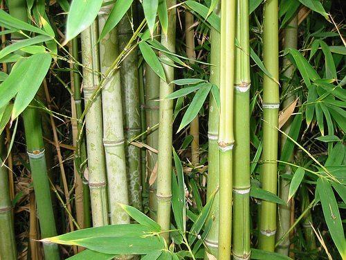 Horoscop japonez Bambus