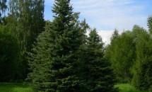 Zodiac arboricol Brad