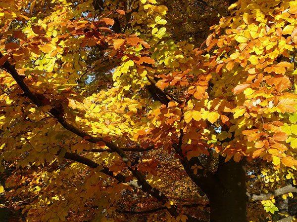 Zodiac arboricol Fag