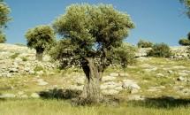 Zodiac arboricol Maslin