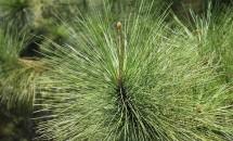 Zodiac arboricol Pin