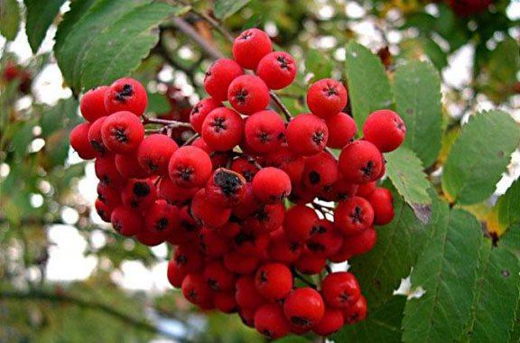 Zodiac arboricol Scorus