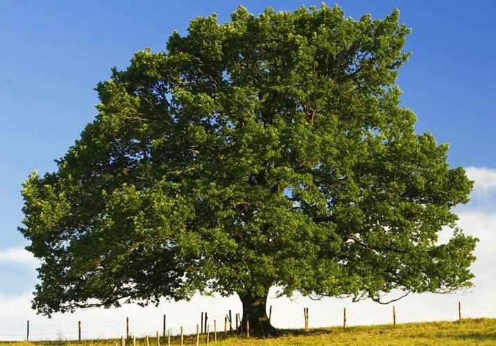 Zodiac arboricol Stejar