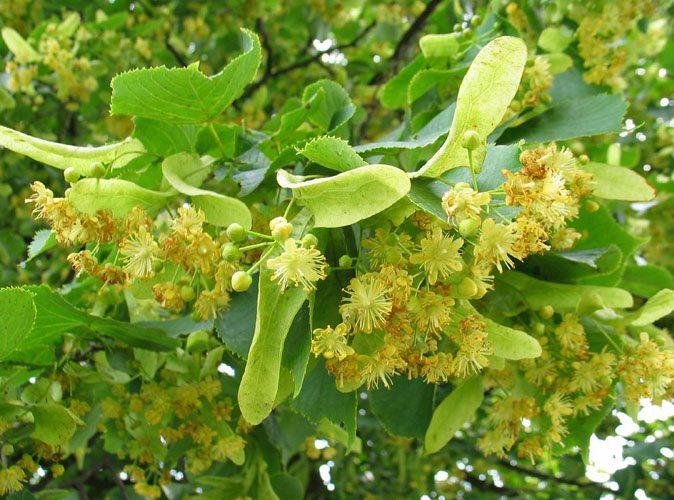Zodiac arboricol Tei