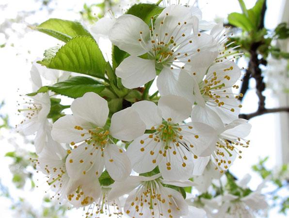 Florile de cires