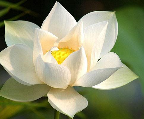 Lotusul