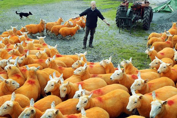 Iată de ce acest fermier și-a vopsit animalele în portocaliu