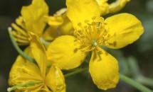 Planta care treatează 150 de boli, chiar și CANCERUL