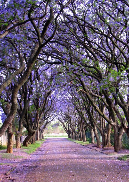 Copaci-Jacaranda