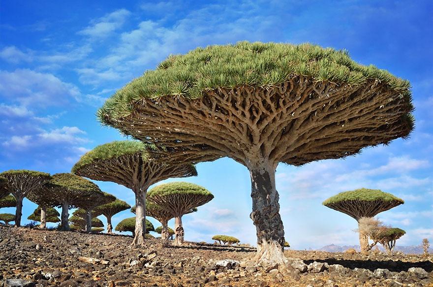 Copaci Sângele Dragonului