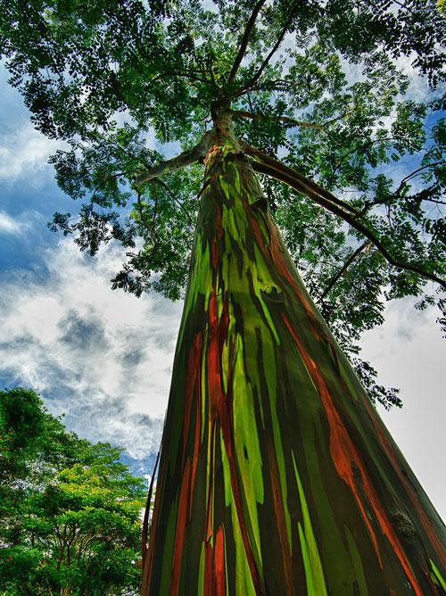 Curcubeu-eucalipt