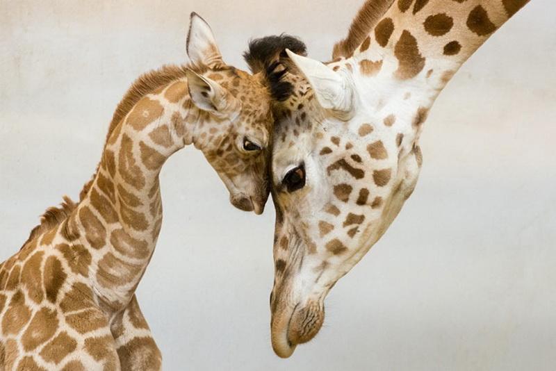 Și animalele pot fi părinți grozavi 8