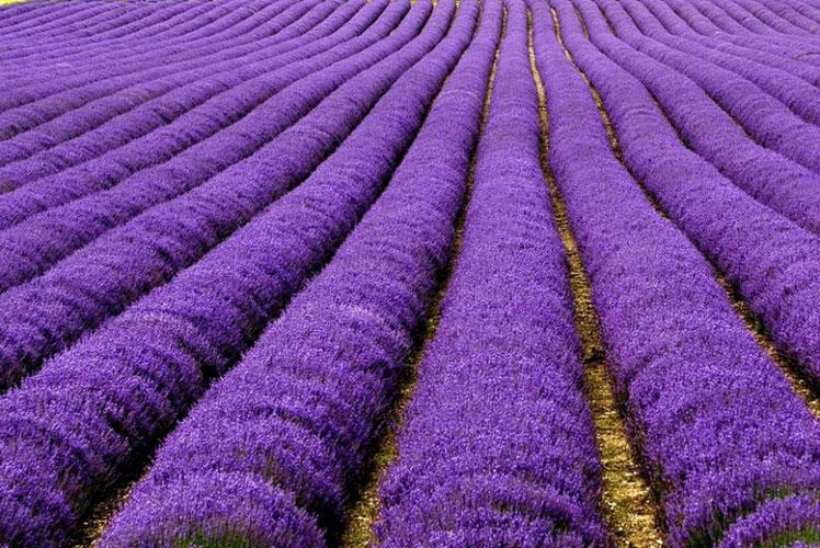 Câmpuri-de-lavandă