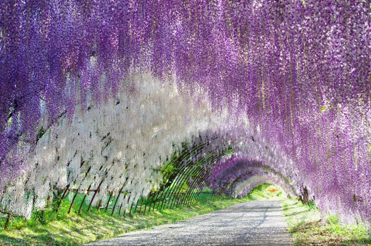 Grădinile-Kawachi-Fuji