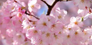 Fotografii care iti vor taia respiratia. Iata cele mai impresionante poze cu flori de cires de pe tot mapamondul