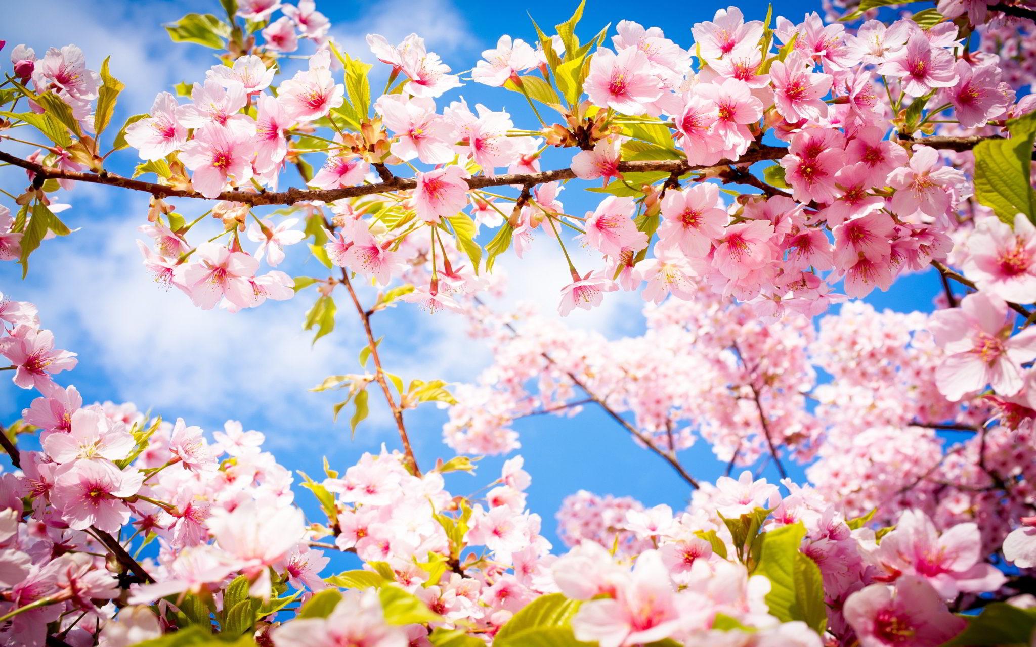 flori de cires primavara