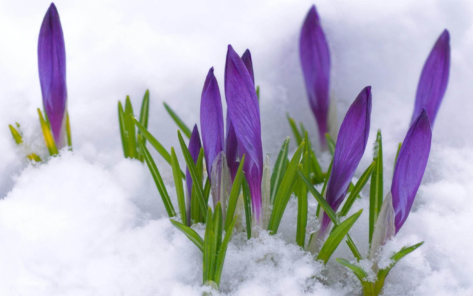 toporasi violeti