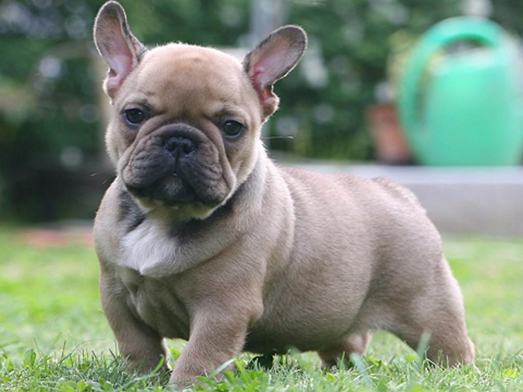 Rasa de caini Bulldog francez